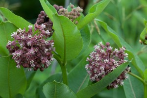 milkweed, grass, bloom
