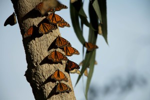 Monarch perhosia, bugs, hyönteiset
