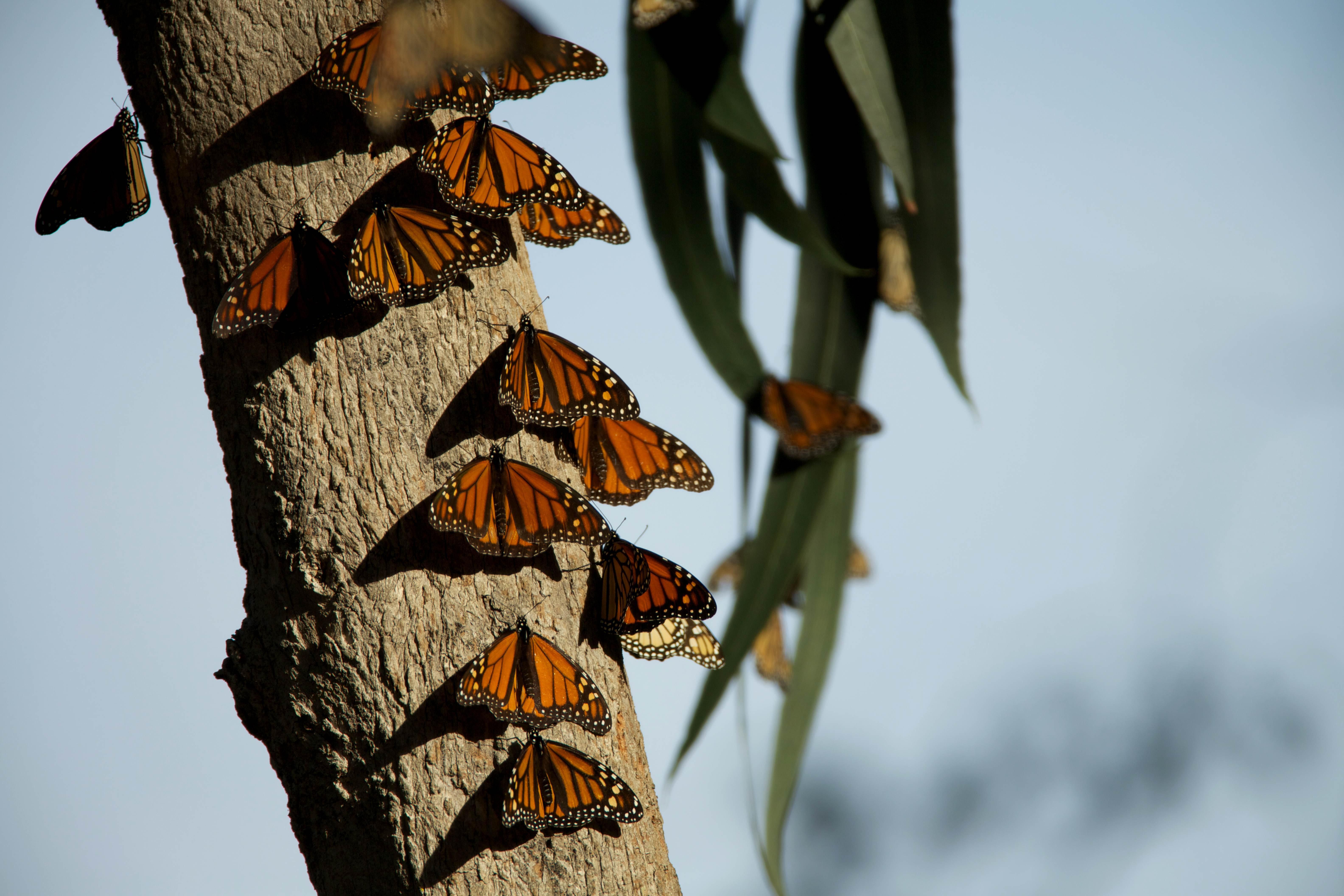 Free photograph; monarch, butterflies, bugs