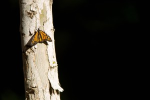 monarch butterfly, California