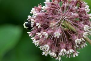 perenne, planta, insecto, macro