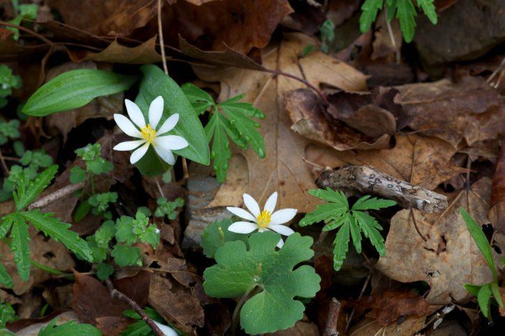 red, Trillium, bloodroot, flower