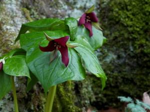 trillium erectum, flower, red trillium flower, plant, bloom, nature