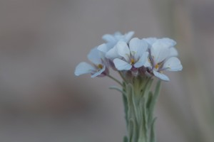 blomstrende, plante