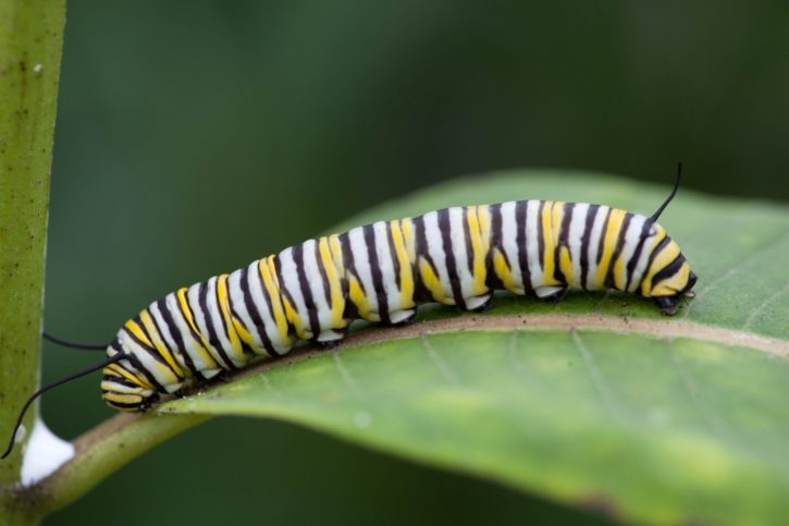 insect, invertebrates, monarch, butterfly, larvae