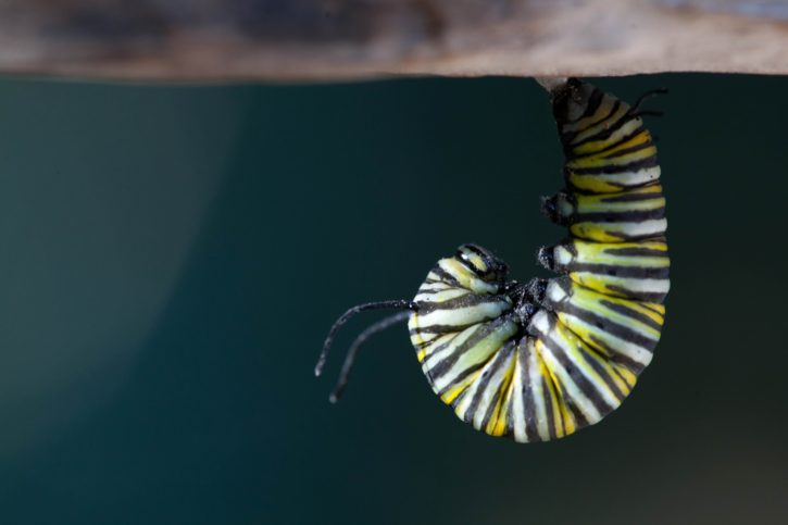 insect, macro, hanging, butterfly, larvae, close