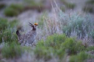 lesser prairie chicken, dances