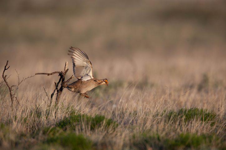 menší pták prérie, létání, poušť