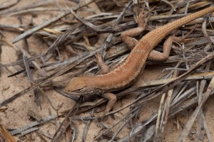 lizard, small, light, brown