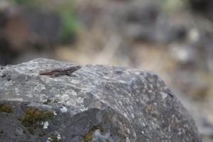 lizard, sunning, rock
