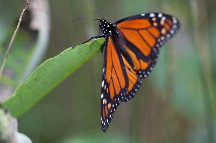 macro, bug, insect, plant, monarch, butterfly, milkweed
