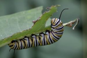 makro, hmyzu, motýľ, larvy, jesť, leaf