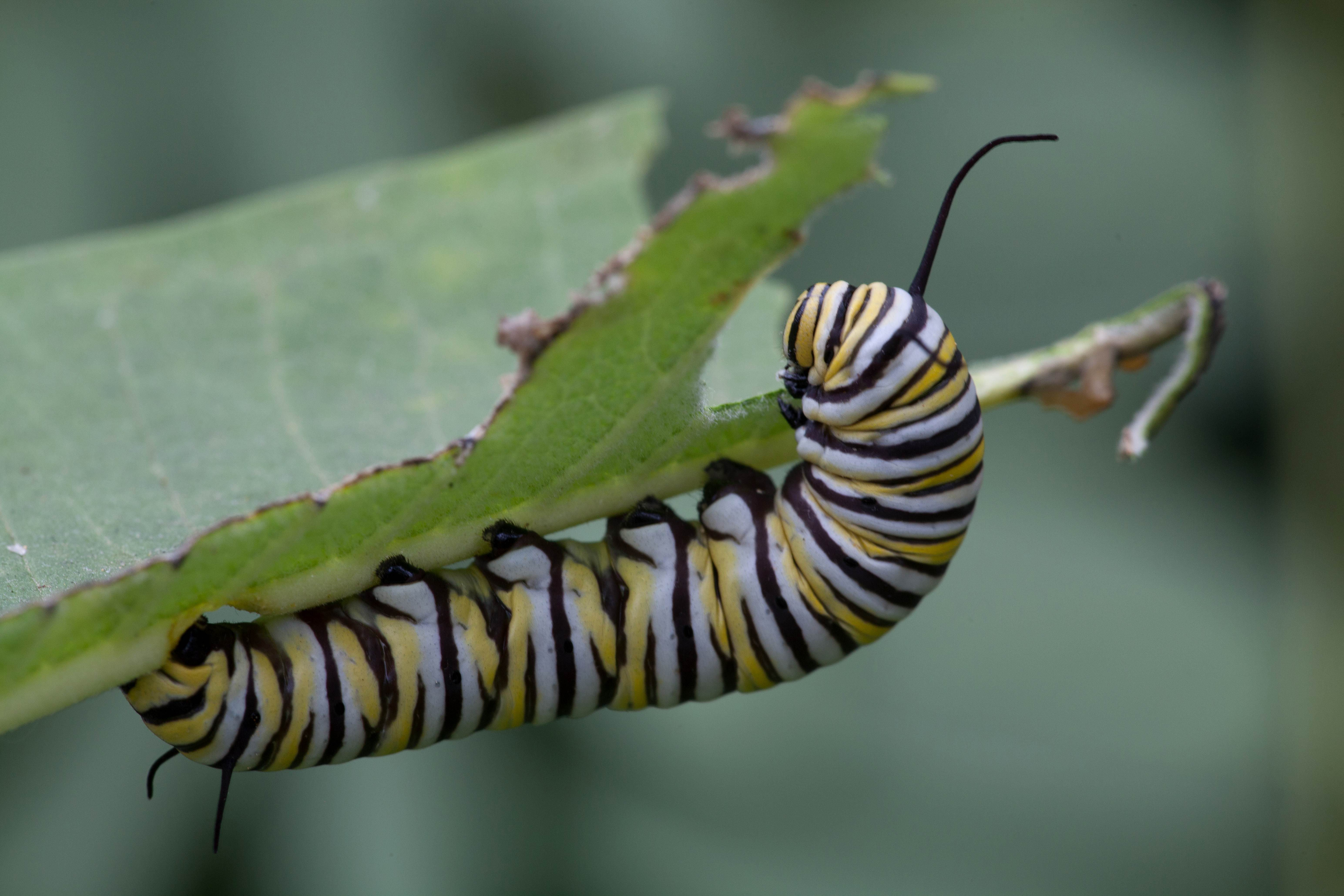 Free photograph; macro, insect, butterfly, larvae, eat, leaf
