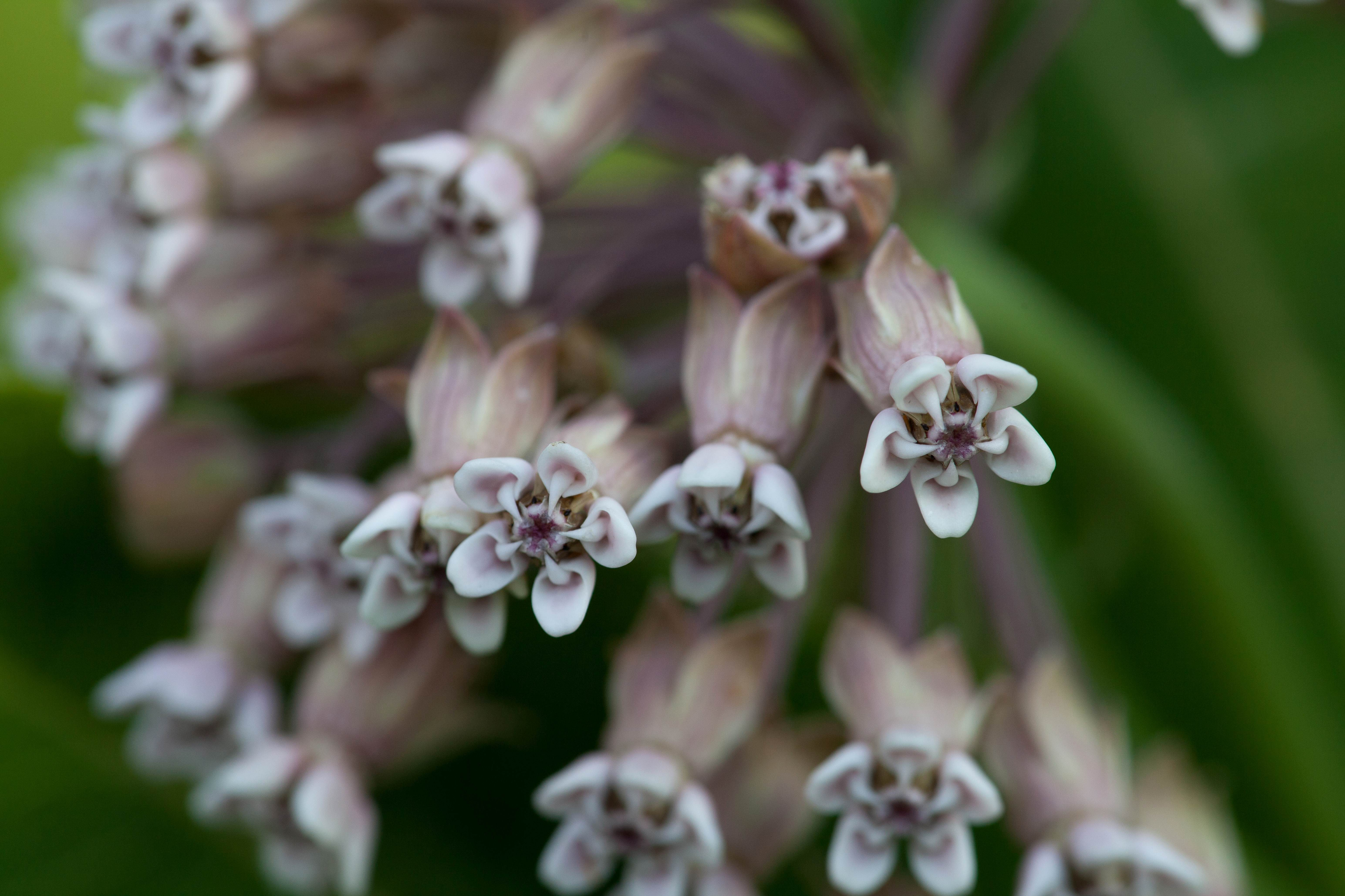 Free photograph; milkweed, plant, flora, blooming, buds