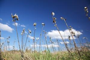 milkweed, berdiri, biru, langit