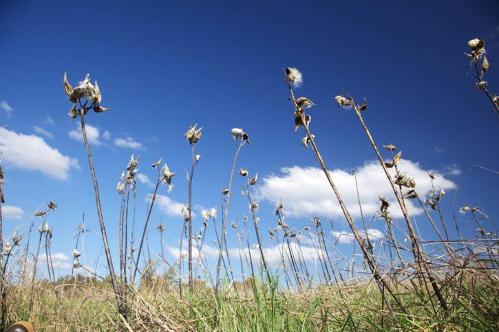 milkweed, standing, against, blue, sky