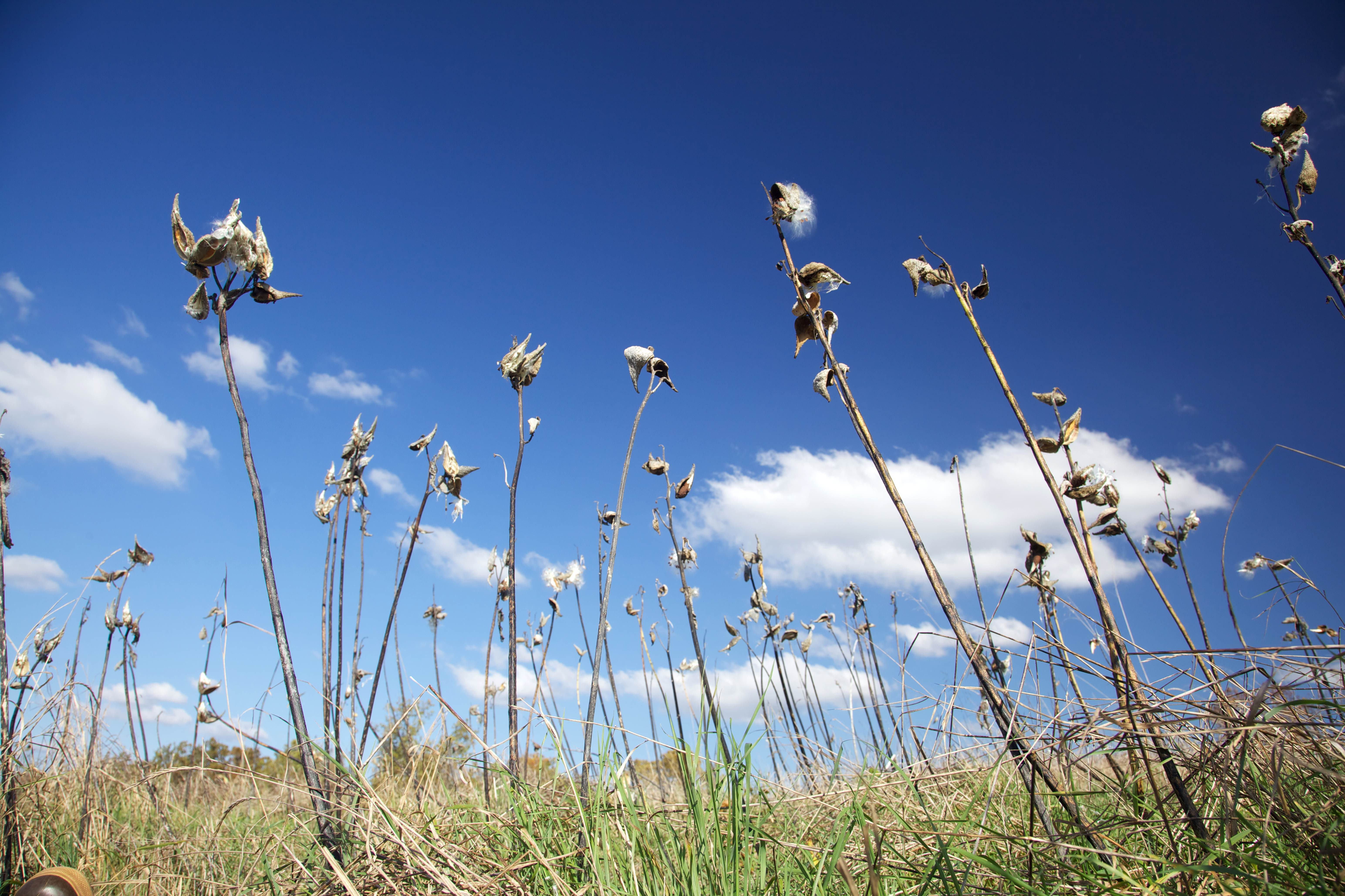 Free photograph; milkweed, standing, against, blue, sky