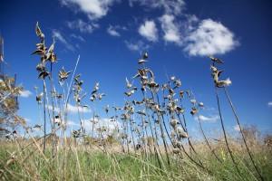 milkweeds, står, alene, blå himmel