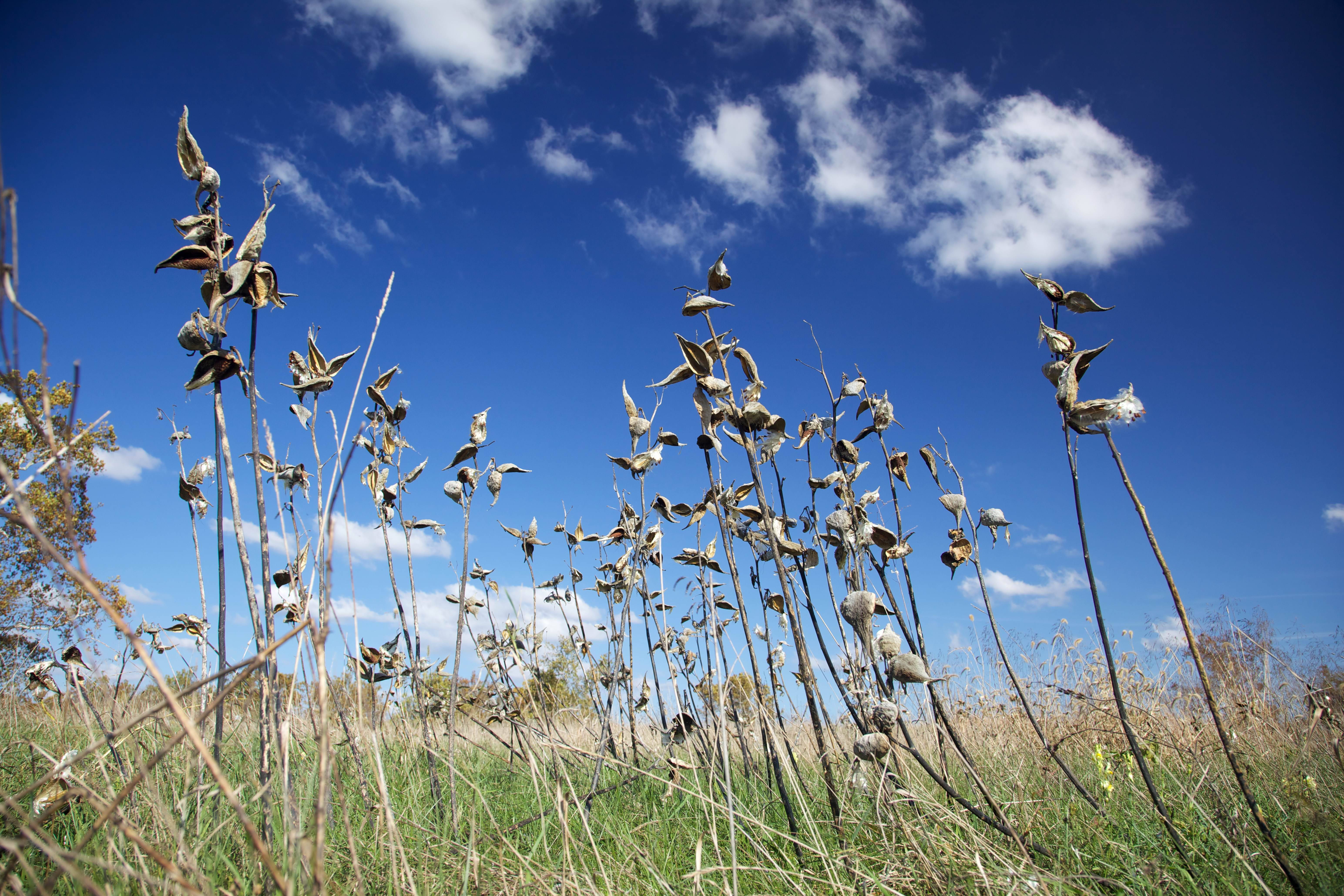 Free photograph; milkweeds, standing, alone, against, blue, sky