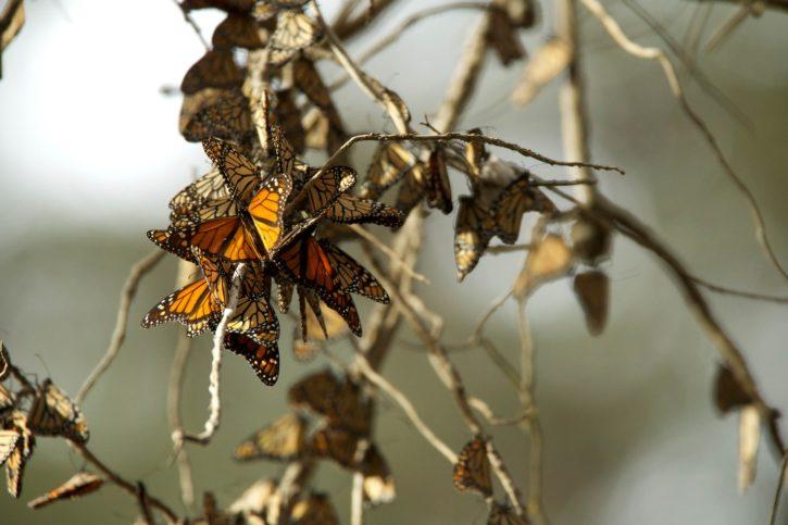 monarch, butterflies