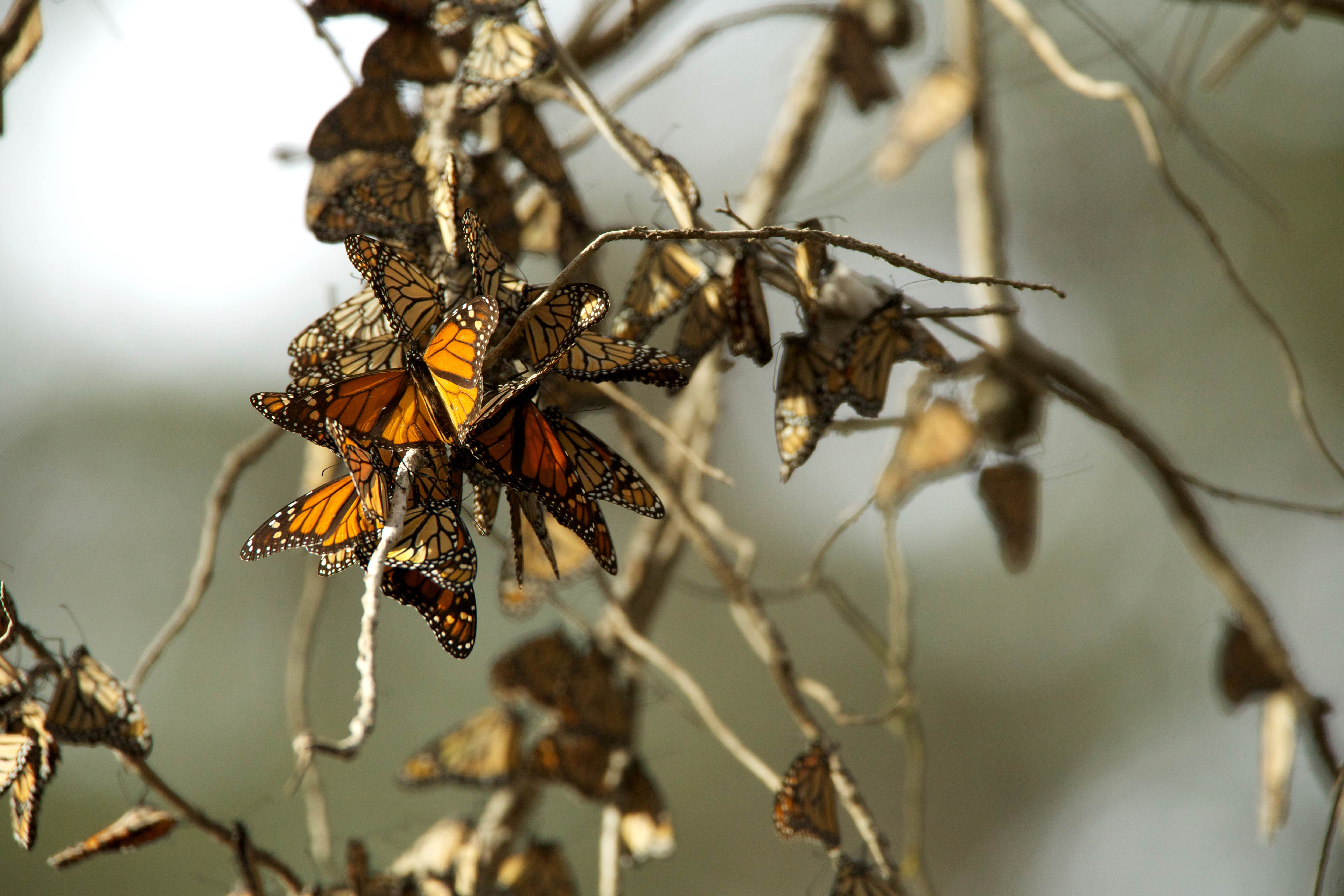 Free photograph; monarch, butterflies