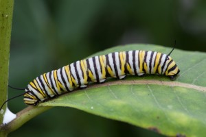 monarch butterfly, larvae, feeding, milkweed
