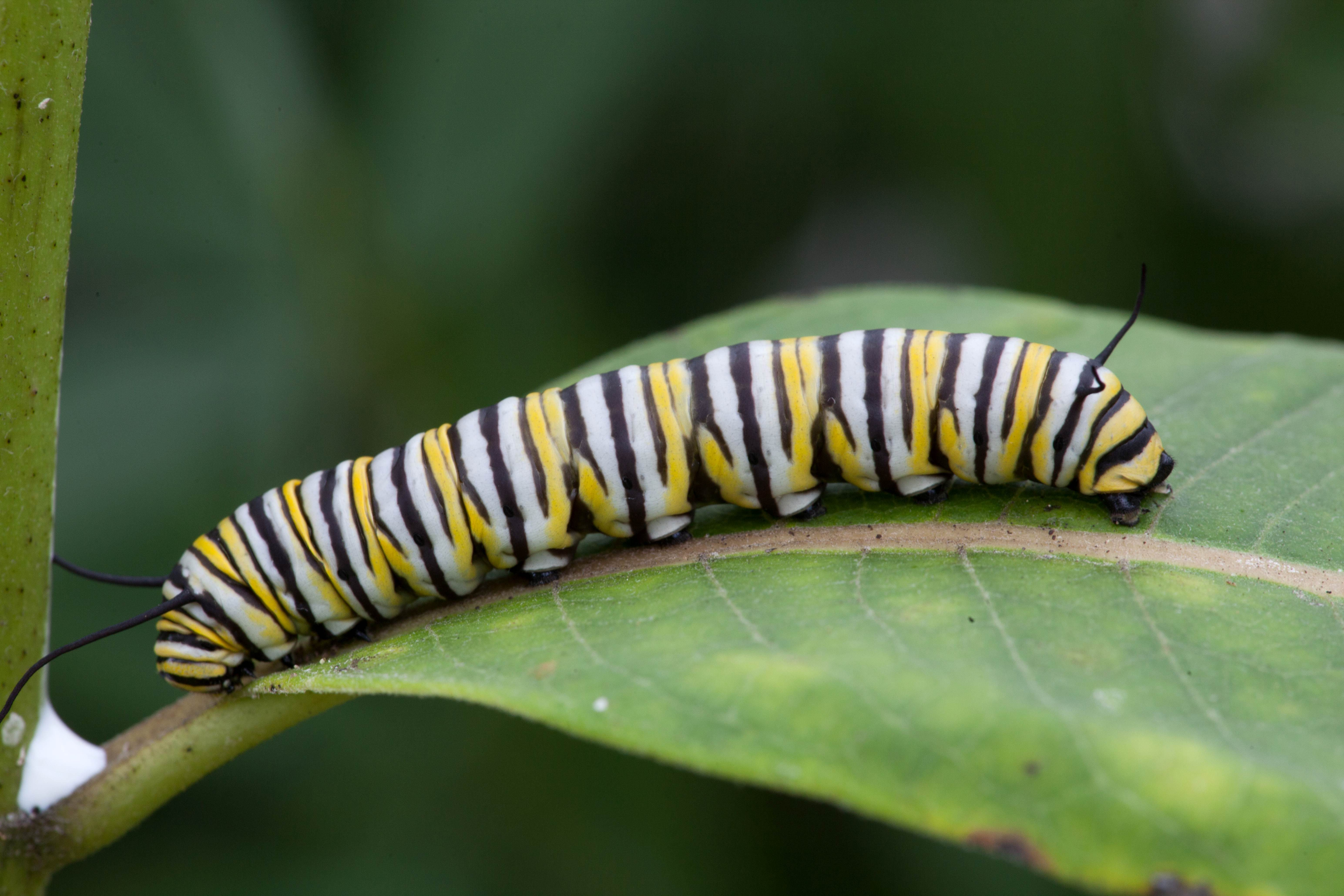 Free photograph; monarch, butterfly, larvae, feeding, milkweed