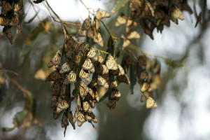 monarch butterfly, population, overwintering