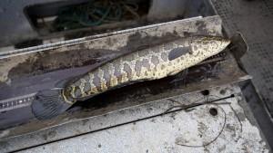 animal, snakehead, fish, measuring
