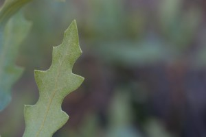 oak, leaf