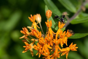 orange, weed, flower, insect, macro, plant
