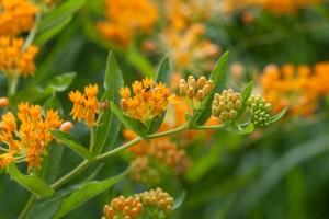 perenna, växt, larver, mat, växt, monarch butterfly