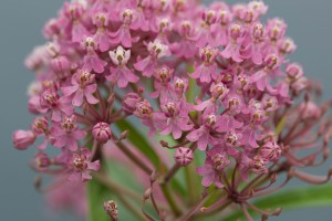 pinkish, bloom, swamp, milkweed, Herbaceous, perennial, plant