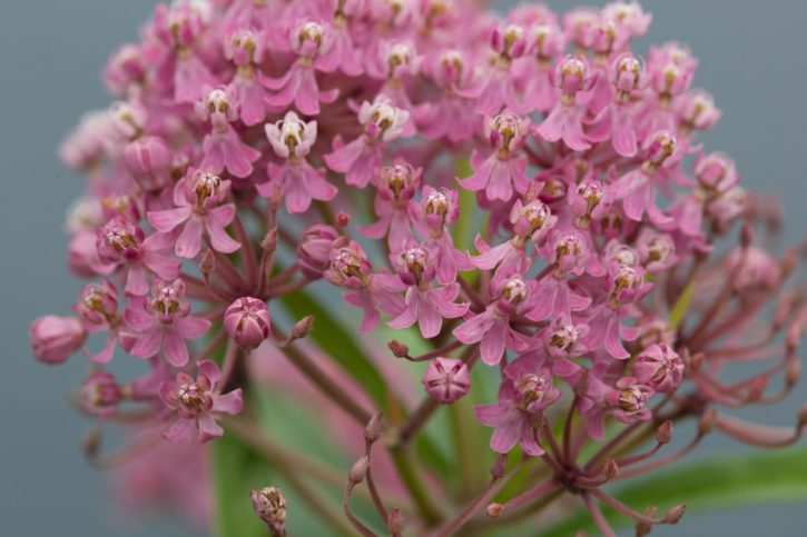 pinkish, bloom, swamp, milkweed, Herbaceous, perennial, plant