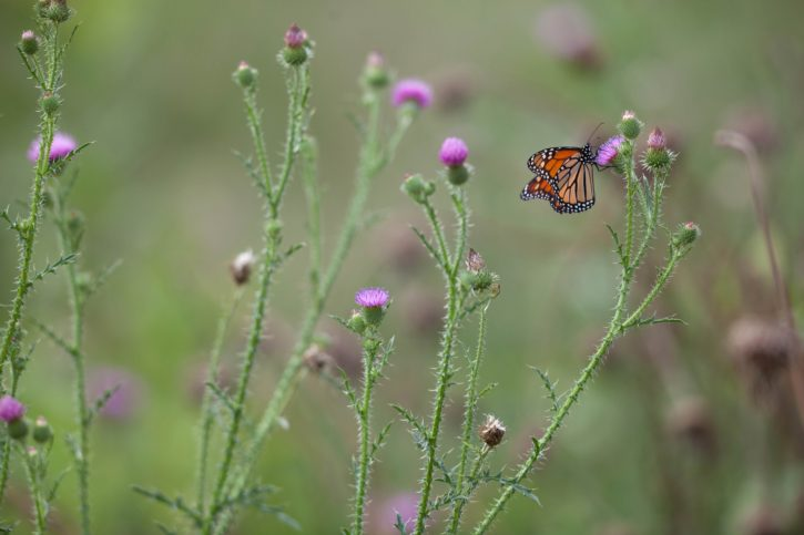pollinator, monarch, butterfly, insect, bug