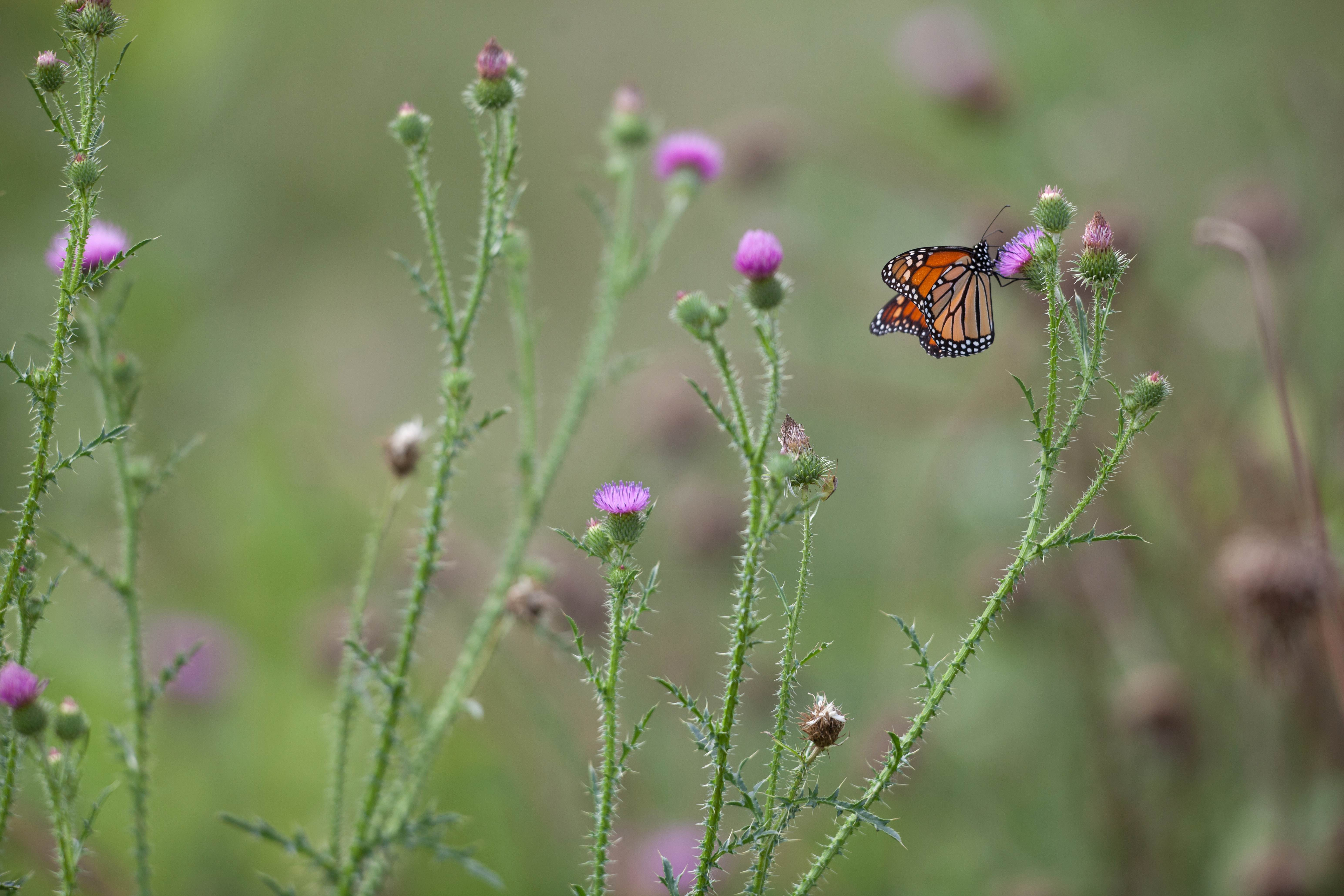 Free photograph; pollinator, monarch, butterfly, insect, bug