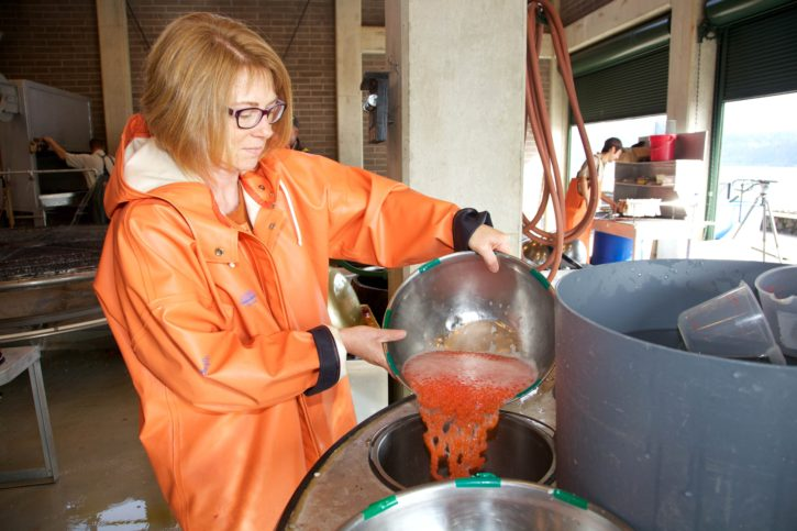 processing, fall, chinook, salmon, eggs