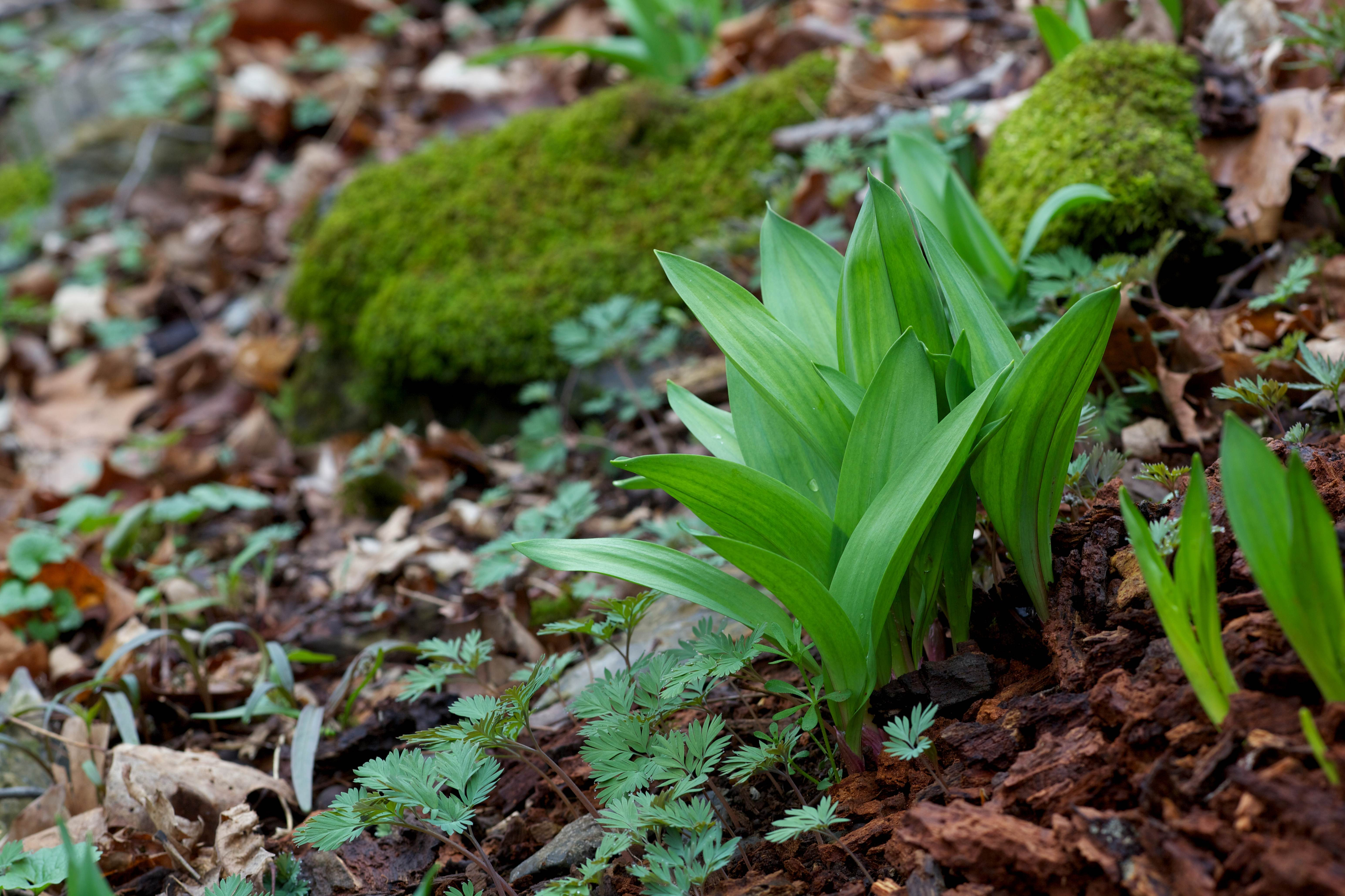 Free photograph; ramps, wild, onion, wild, leeks