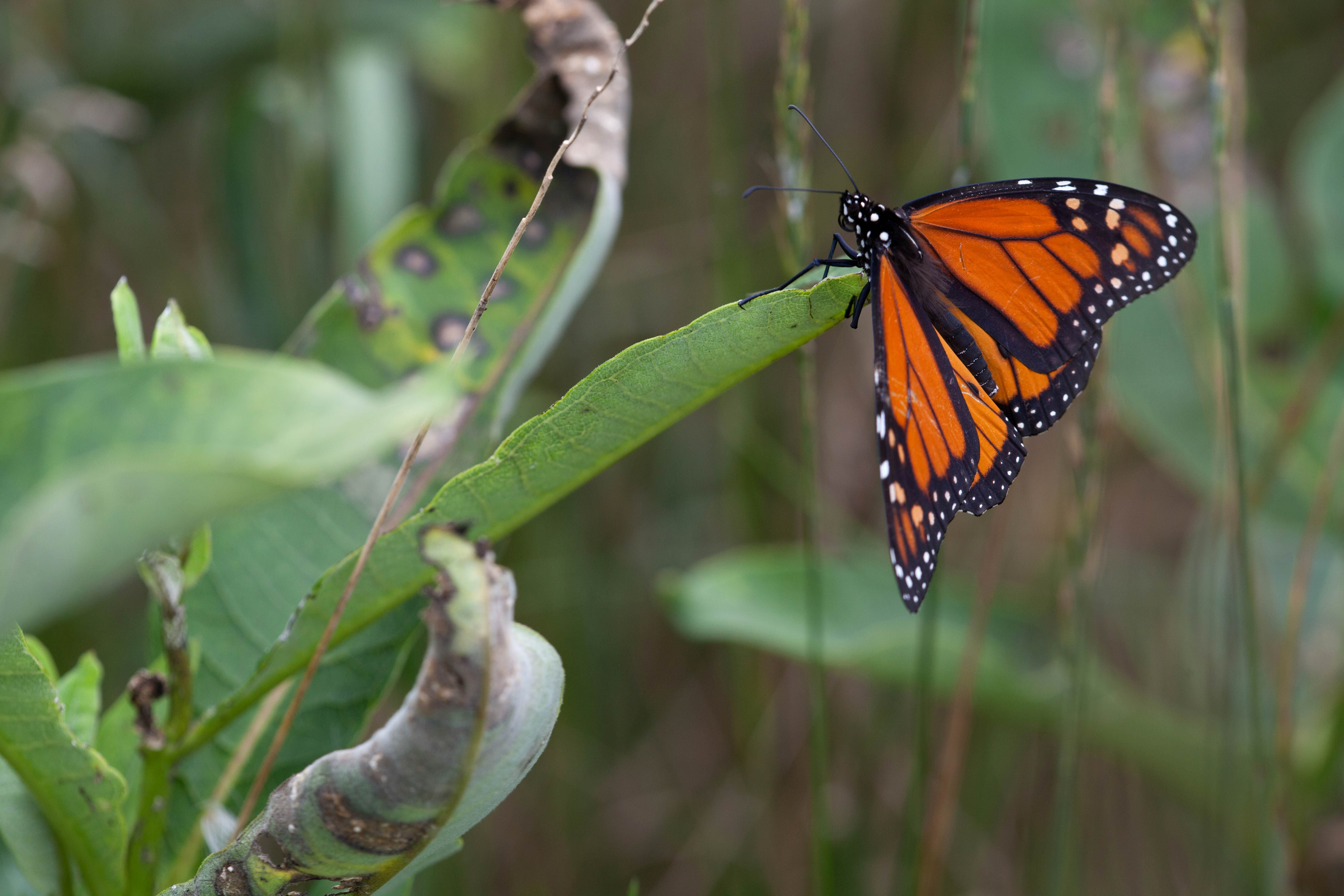 Free photograph; red, orange, insect, plant, monarch, butterfly, milkweed