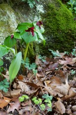 red, trillium, wildness, stone, grass, flower