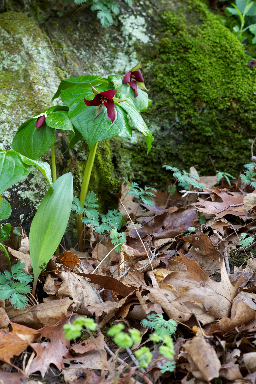 Free photograph; red, trillium, wildness, stone, grass, flower