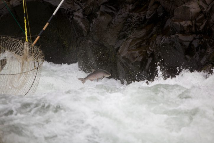salmon, escapes, traditional, dip, fishing, nets