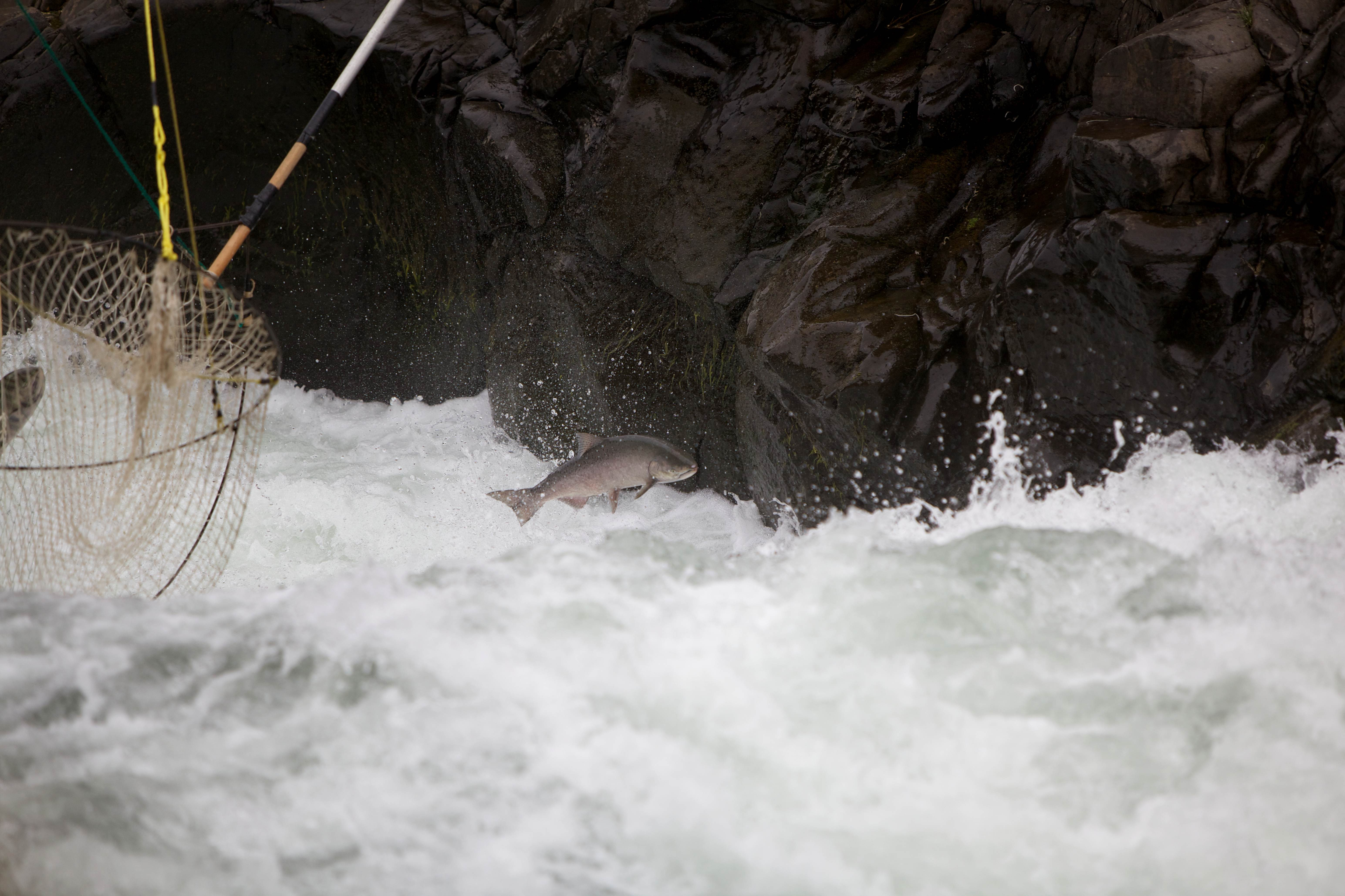 Free photograph; salmon, escapes, traditional, dip, fishing, nets