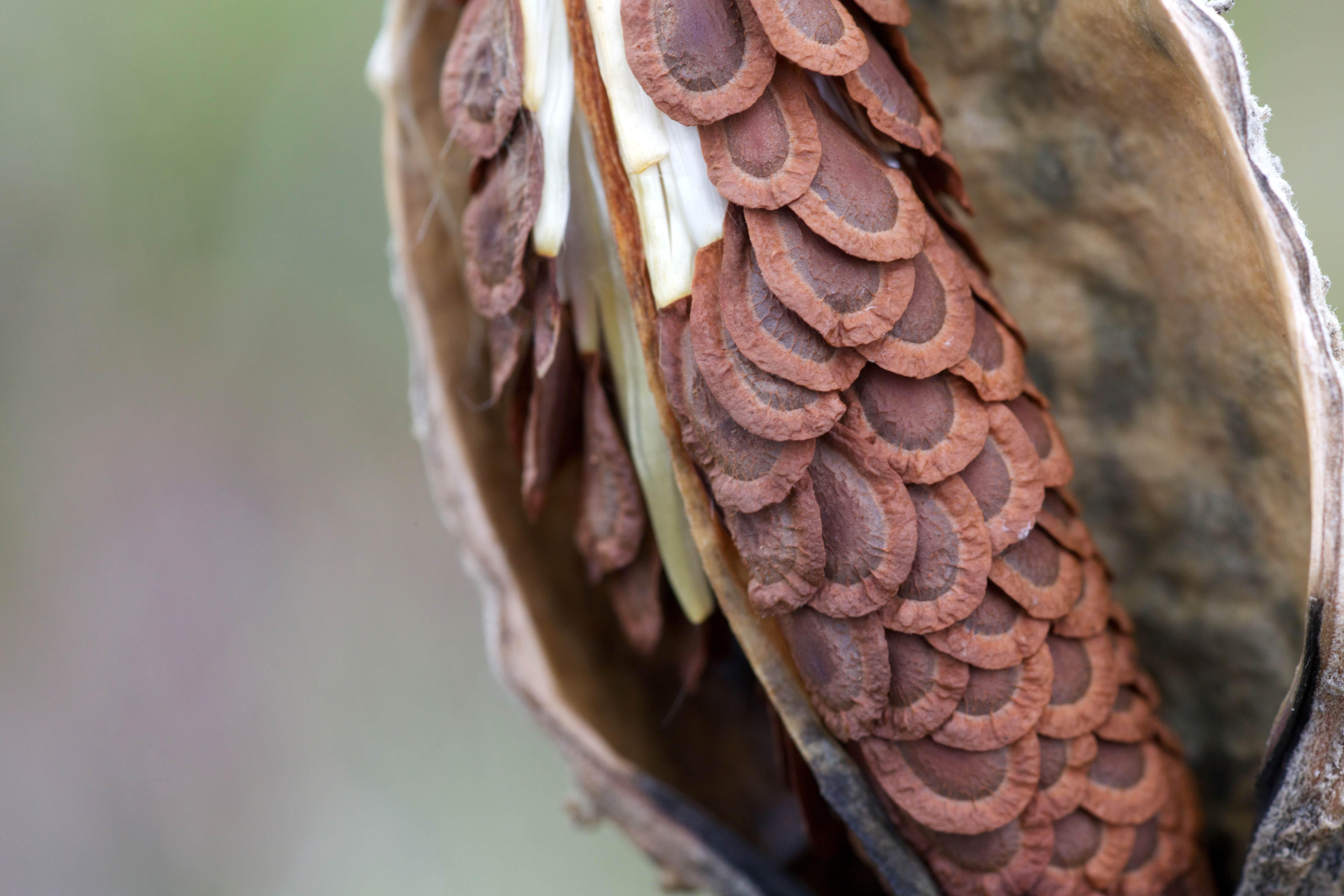 Free photograph; seeds, inside, milkweed, pod