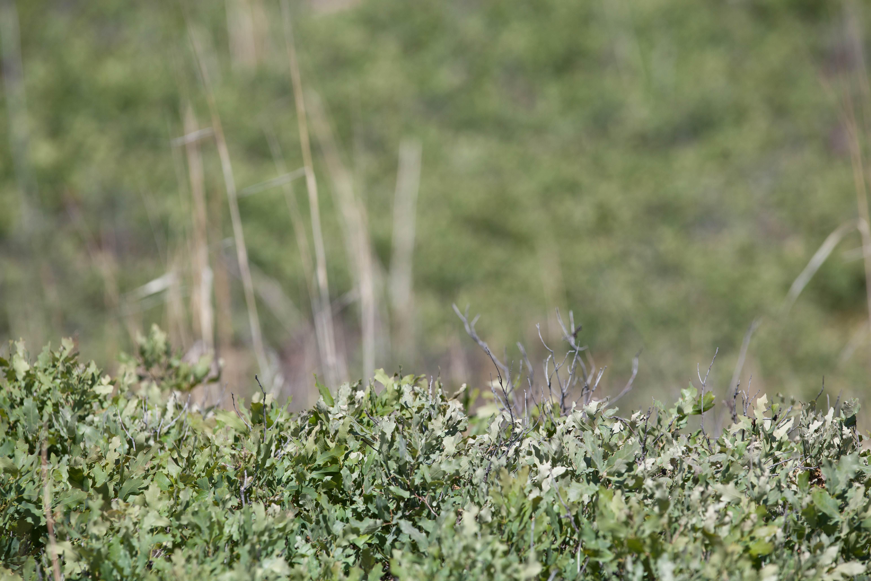 Free photograph; shinnery, oak, habitat