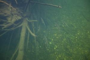 sockeye, losos, riba, ikra, Oncorhynchus, nerka