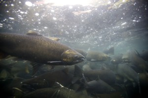 spawning, fall, chinook, salmon, fish