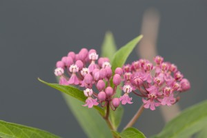 swamp, milkweed, flower, bloom, wildflower, flowering, plant