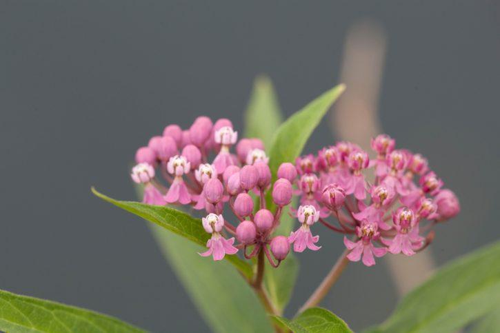 swamp, milkweed, flower, bloom, wildflower, flowering, plant