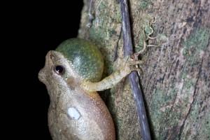 minuscule, grenouille, amphibien